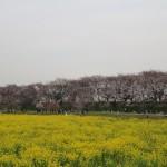 桜と菜の花のコラボ! 幸手権現堂桜堤 なら桜が咲いてなくても楽しめる